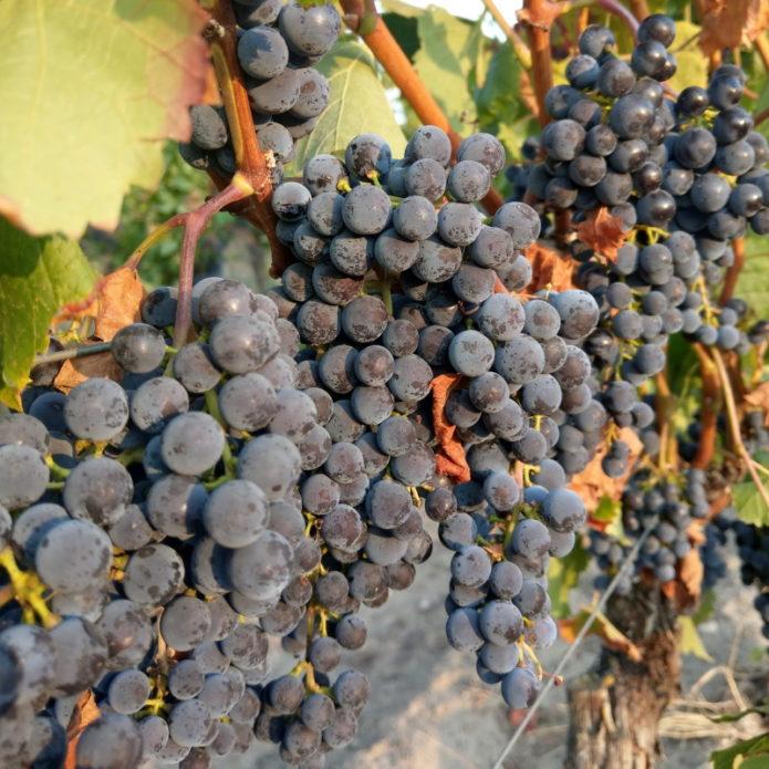 Merlot-Trauben im Weingut Kronenhof