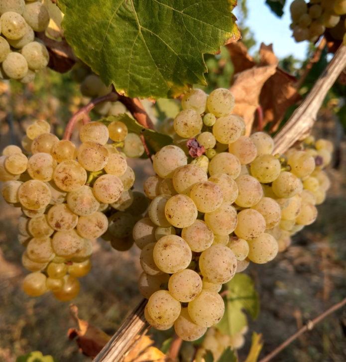 Riesling Weingut Kronenhof